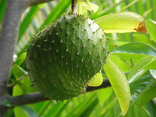 Szúrszop a Graviola fa gyüölcse